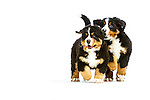 Judi - Bernese Mountain Dog Puppies