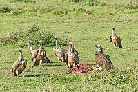 Griffon vultures (Gyps fulvus), Serengeti, Tanzania, Africa
