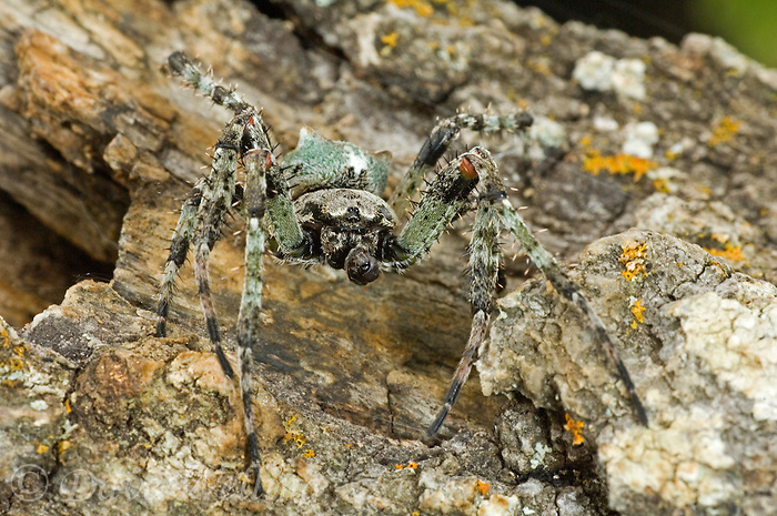370600009 a wild humpback orbweaver spider, eustala anastera on an old log texas hill country texas