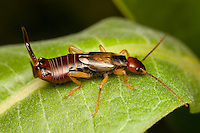 European Earwig (Forficula auricularia) - Male on a Milkweed plant leaf, Bald Eagle State Park, Howard, Centre County, Pennsylvania