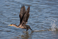 Dougble-crested Cormorant; Phalacrocorax auritus; taking off from water; NJ, Edwin B. Forsythe NWR