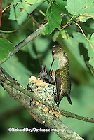 01162-00418 Ruby-throated Hummingbird (Archilochus colubris) female feeding nestlings Marion Co. IL