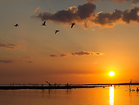 Ibises fly in front of a setting sun at the mouth of the Tarcoles River.