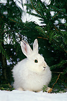 Snowshoe or varying hare (Lepus americanus), Winter