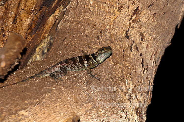 The Collared iguanid lizard, Oplurus cuvieri (also Collared iguana, or Madagascan collared iguana) is an arboreal Malagasy iguana, the largest of six Oplurus species. They are found in the western tropical forests of Madagascar and on Grand Comore Island. They have a mostly carnivorous diet and their breeding is timed with the rainy season.