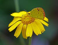 Little yellow sulphur
