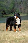 Bernese Mountain Dog<br /> <br /> <br /> Shopping cart has 3 Tabs:<br /> <br /> 1) Rights-Managed downloads for Commercial Use<br /> <br /> 2) Print sizes from wallet to 20x30<br /> <br /> 3) Merchandise items like T-shirts and refrigerator magnets