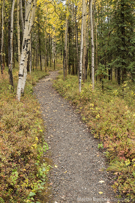 Rock Creek Trail winding through aspen forest, fall, Denali National Park, Alaska