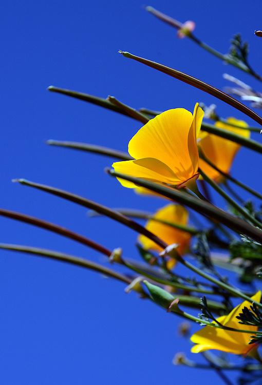 California Poppies (Mt. Tamalpais)
