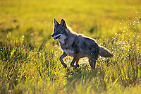 Mc304  Coyote running (Canis latrans)