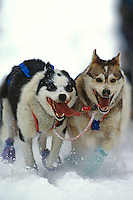Dogs on Tudor sled dog track Iditarod Sled Dog Race 1992