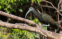 One of a number of different ibis species seen during our trip.