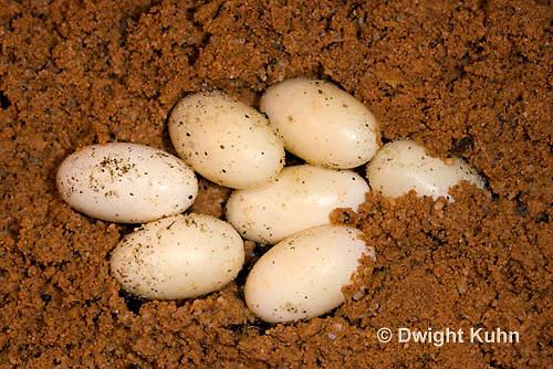 CH42-503z  Veiled Chameleon eggs in sand, Chamaeleo calyptratus