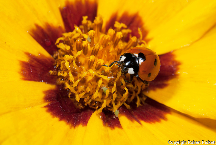 7 Spot Ladybird, coccinella septempunctata, feeding on aphids, on Sunfire flower, Coreopsis grandiflora, yellow, orange, seven, red with black spots, colourful