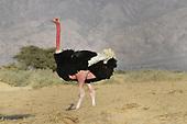 Ostrich - Struthio camelus camelus