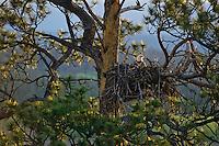Bald Eagle sitting on eggs in nest in ponderosa pine tree.