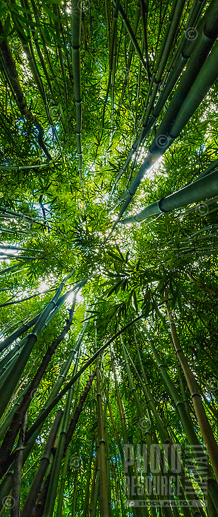 Looking up at the sky from a huge bamboo forest in Honolulu, O'ahu.