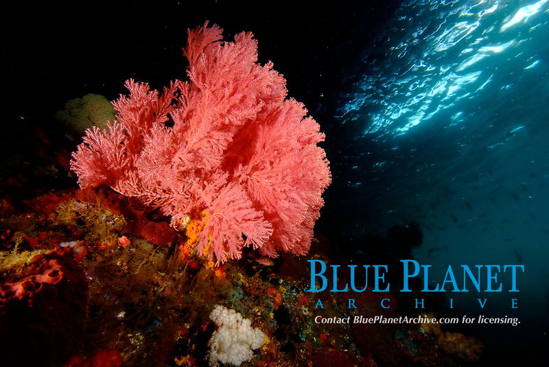 Pink sea fans under the ledge of Mike's Point, Raja Ampat, West Papua, Indonesia