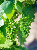 Deutschland, Rheinland-Pfalz, Suedliche Weinstrasse: Weistock mit noch gruenen, unreifen Weintrauben | Germany, Rhineland-Palatinate, Southern Wine Route, Sankt Martin (Pfalz): vine with still green, unripe grapes