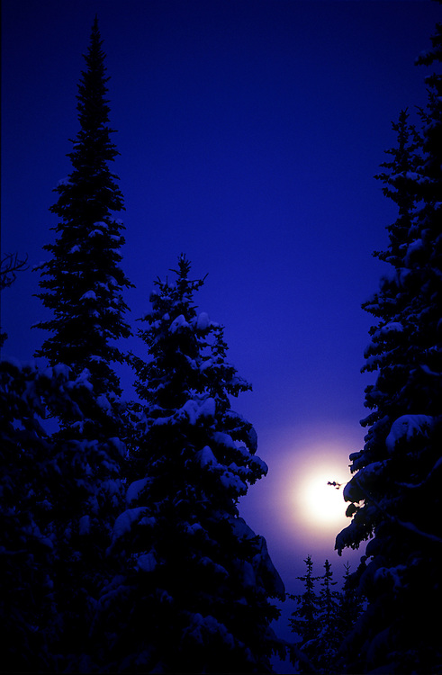 Dreamy, surrealistic view of evergreen trees covered in snow at night, with romantic full moon between trees, near Kelowna, BC.
