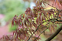 Acer palmatum 'Linearilobum Atrolineare', late April. A ribbon-leaf linearilobum Japanese maple.