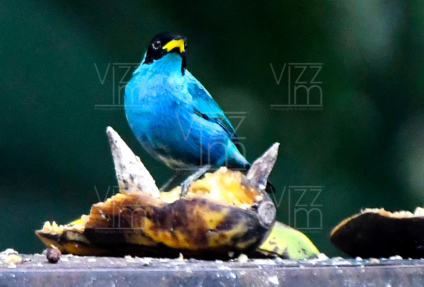 CALI-COLOMBIA, 25-02-2020: Mielero Verde Macho (Clorophanes Spiza), especie de ave presente en el Corregimiento San Antonio, municipio de Cali, en el Departamento del Valle del Cauca. / Green Honeycreeper Male (Clorophanes Spiza), bird species present in San Antonio Town, in Cali City in Valle del Cauca Department. Photo: VizzorImage / Luis Ramirez / Staff.