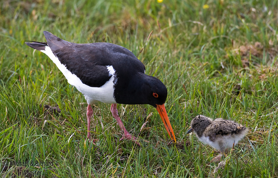 The Oystercatche is a common wading bird of the British Isles.  The sexes are similar in colouration and this bird is busily feeding one its young with a worm.