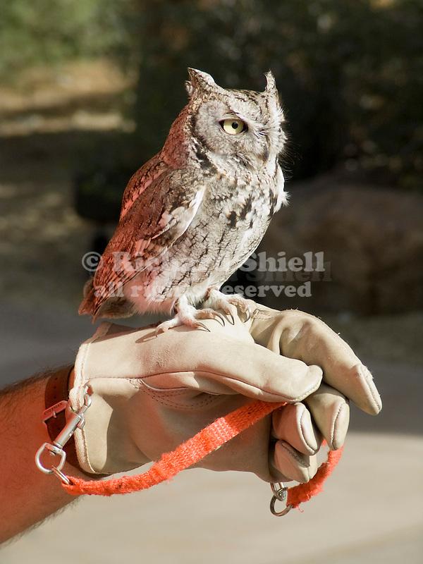 Screech Owl, reddish reflection from handler's shirt