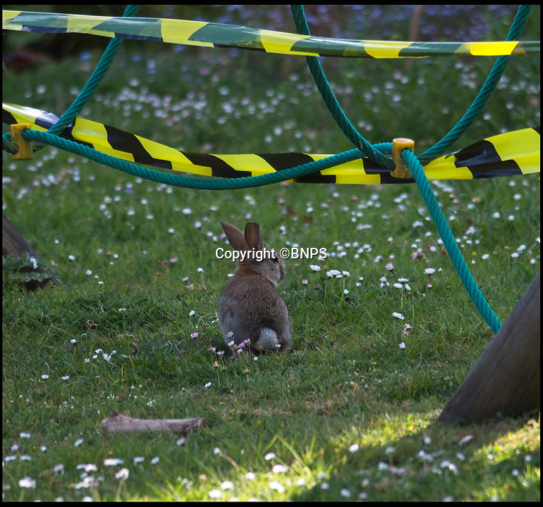 BNPS.co.uk (01202 558833)<br /> Pic: PhilYeomans/BNPS<br /> <br /> One of the pesky rabbits on the field.<br /> <br /> Bunny spoiler...<br /> <br /> A school has been forced to cancel its sports day and ban children from its playing field after its attempts to control a plague of rabbits failed.<br /> <br /> Cranborne Middle School got in a stew after the bothersome bunnies dug countless holes in the school playing field, with children tripping in the holes and hurting themselves.<br /> <br /> Staff at the school in Dorset have worked with a landscaping company and gamekeepers from the Cranborne Estate to cull the colony using ferrets, gas and shooting in recent years, but say this year the rampant rabbits have multiplied more than ever.