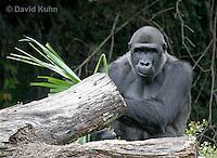 0210-08oo  Western Lowland Gorilla, Gorilla gorilla gorilla © David Kuhn/Dwight Kuhn Photography