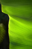The natural morning sunlight behind this banana leaf, or maia, creates an array of color, light and shadow through it, Hawai'i.
