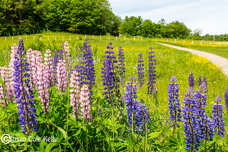 A field of lupines in Wiscassett, Maine, USA