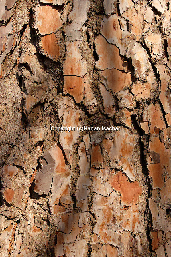 Judea, the bark of a Pine tree (Pinus Pinea) in Ein Kinia