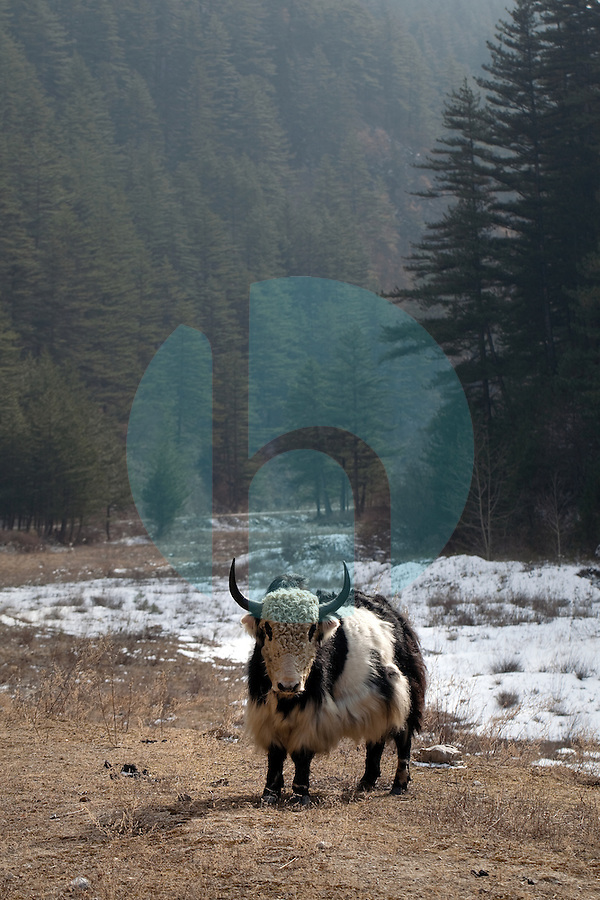 January 10th 2012_Jiuzhaigou, China_ A Yak stands his ground near a small ethnic Tibetan village in Abba Prefecture's Jiuzhai Valley National Park, which is home to nine Tibetan villages, over 220 bird species as well as a number of endangered plant and animal species, including the giant panda, Sichuan golden monkey, the Sichuan takin and numerous orchids and rhododendrons.Photographer: Daniel J. Groshong/The Hummingfish Foundation