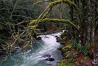 Swift Flowing Creek and Moss-covered Trees in a Temperate West Coast Forest, Fraser Valley, BC, British Columbia, Canada