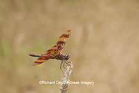 06579-00605 Halloween Pennant dragonfly (Celithemis eponina) male perched near wetland, Marion Co., IL