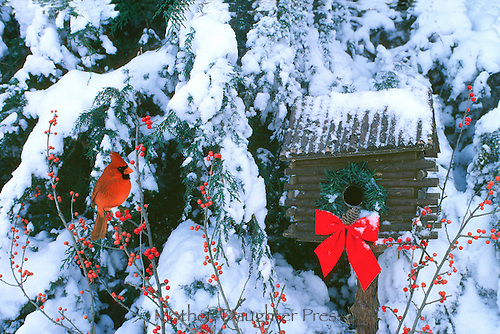 Male cardinal, Cardenalis cardenalis, sits on  branch of holly beside log cabin birdhouse decorated with wreath and bow in the snow, Missouri USA America
