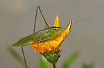 Scudderia Katydid on Daisy, Southern California