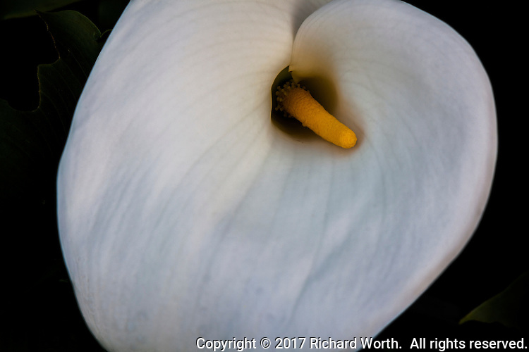 A calla lily with its characteristic white surrounding a yellow center, encouraged to bloom following recent rains.