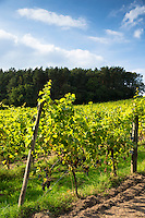 Black grapes on rows of vines for wine production of Regent red wine in English Sedlescombe Organic Vineyard in Kent, UK