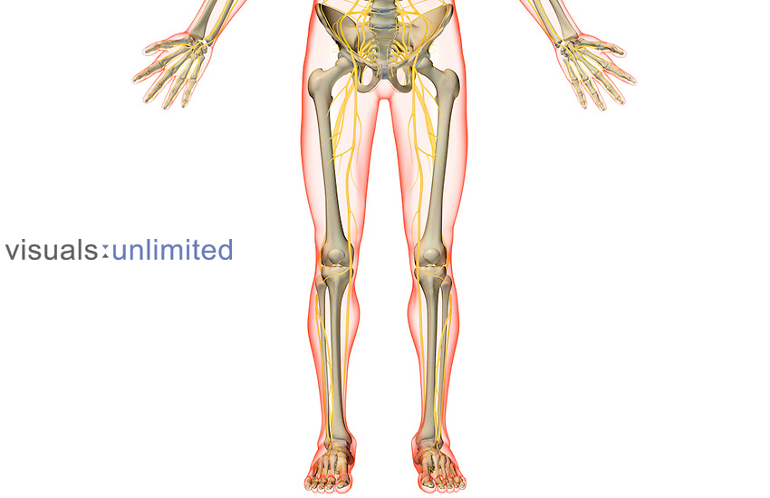 An anterior view of the nerve supply of the lower body. The surface anatomy of the body is semi-transparent and tinted red. Royalty Free