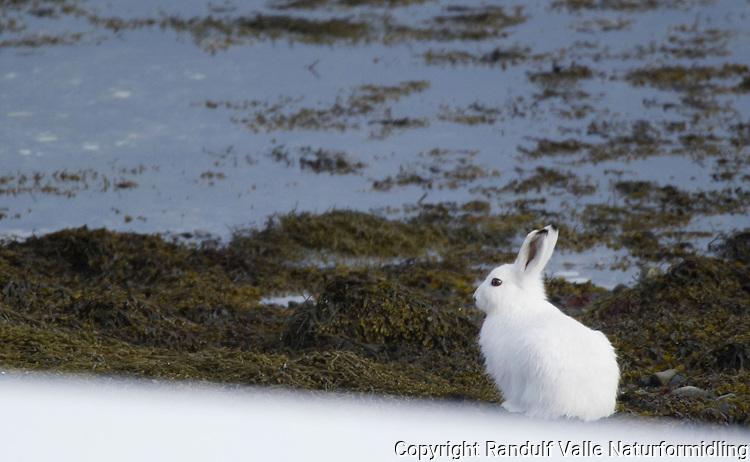 Hare i fjæra på Seiland. ---- Hare at the Seiland coast line.