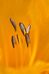 You can see a close up of the stamins in a day lily.
