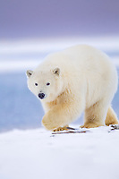 Polar bear cub walks along the snow covered shore of an island in the Beaufort Sea at dusk, Arctic National Wildlife refuge, Alaska.