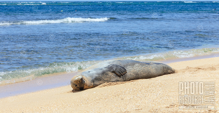 "A Hawaiian monk seal rests ""tummy up"" at Tunnels Beach, Ha'ena, Kaua'i."