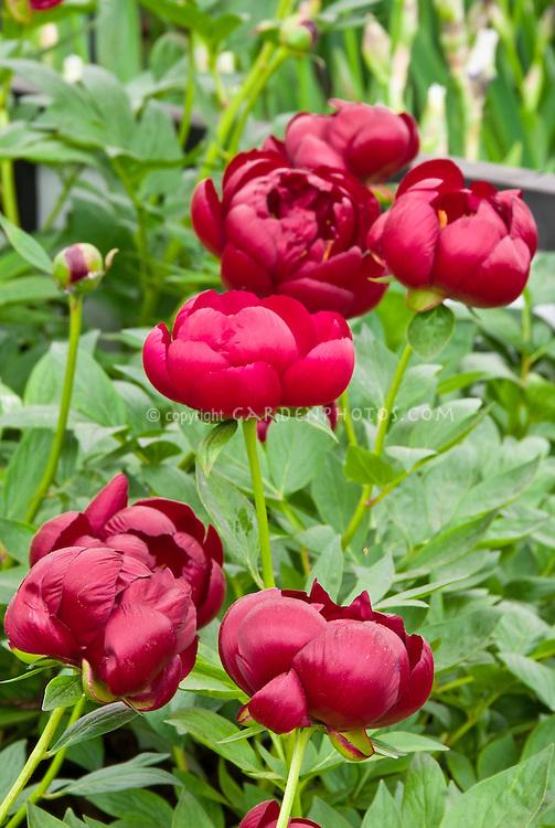 Paeonia Buckeye Belle (d) red peonies in flowers, herbaceous peony