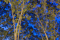 AVAILABLE FROM JEFF AS A FINE ART PRINT. ..AVAILABLE FROM PLAINPICTURE FOR COMMERCIAL AND EDITORIAL LICENSING.  Please go to www.plainpicture.com and search for image # p5690127...Trees Illuminated at Night on the Lower East Side, Lower Manhattan, New York City, New York State, USA