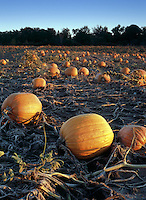 Pumpkins in Ontario field at Sunset