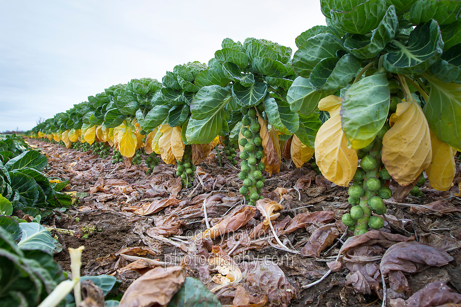 Brussles sprouts ready for harvest - December, Lincolnshire