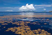 Sargassum weed on a calm sea looking towards St. Thomas<br /> U.S. Virgin Islands